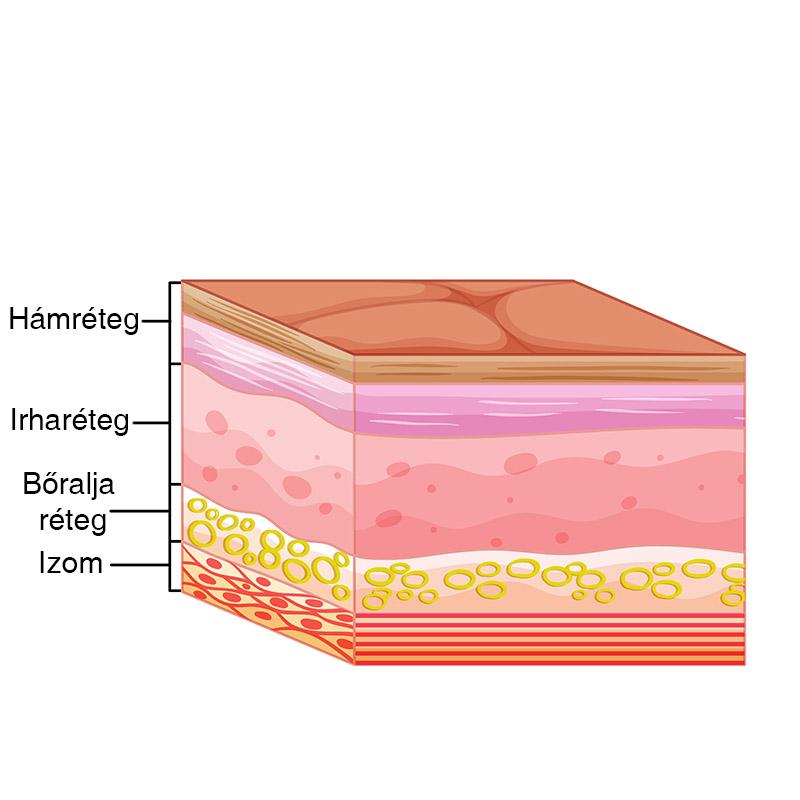 Az arcbőr szerkezete
