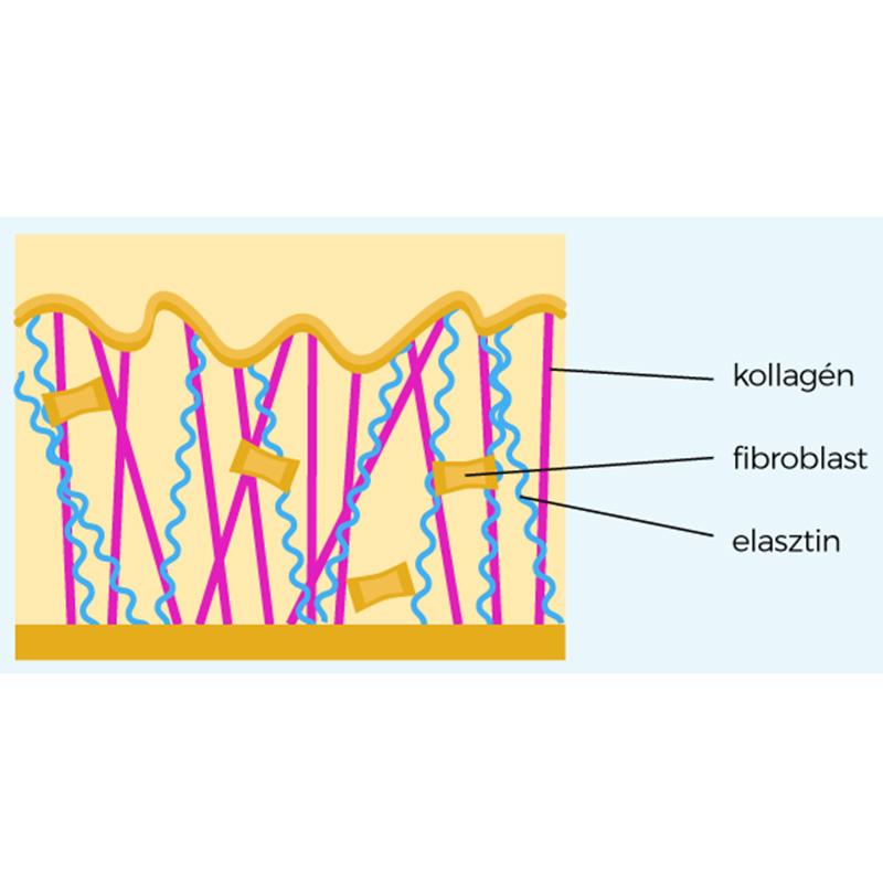 Bőr felépítése (kollagén, fibroblaszt)