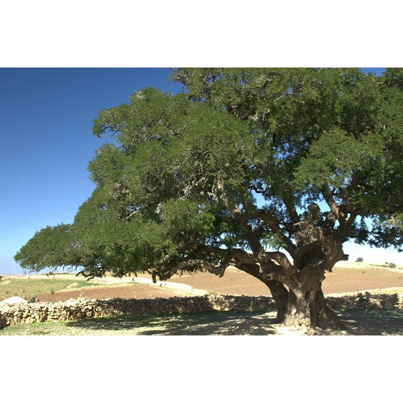 Argán fa